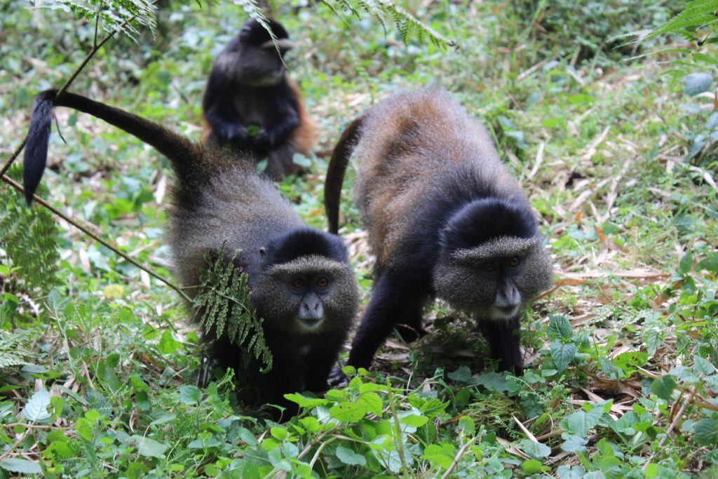 Golden monkeys in Rwanda (Photo: Emily O'Dell)