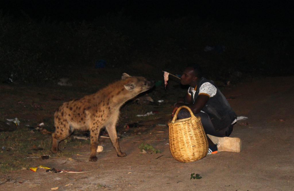 Hyena feeding in Harar (Photo: Emily O'Dell)